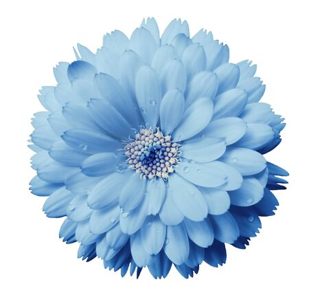 Calendula flower light blue with dew on a white isolated background with clipping path. Closeup. Nature..