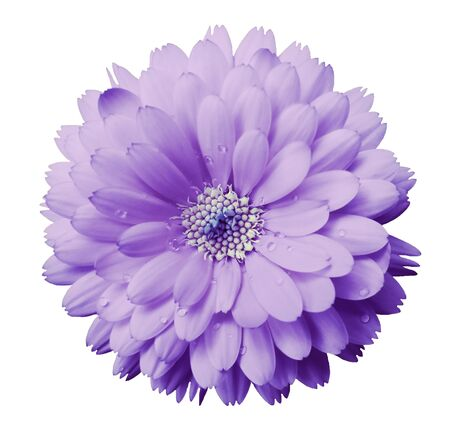 Calendula flower light violet with dew on a white isolated background with clipping path. Closeup. Nature.. Stock Photo