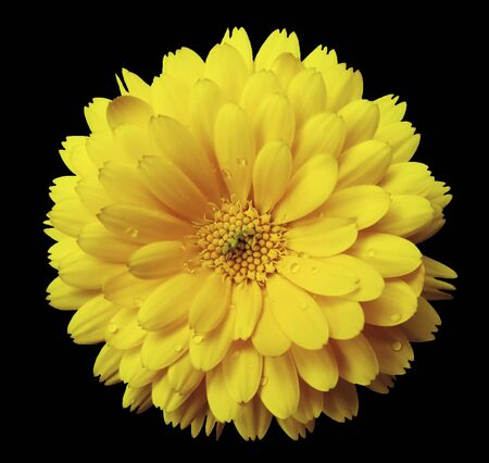 Calendula flower  yellow  with dew on the black  isolated background with clipping path. Closeup. Nature..