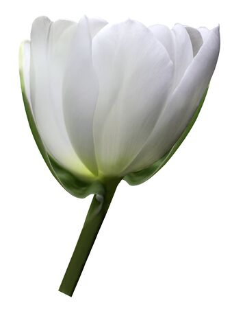 White flower tulip on white isolated background with clipping path. Close-up. Shot of White Colored. Nature. Stock Photo