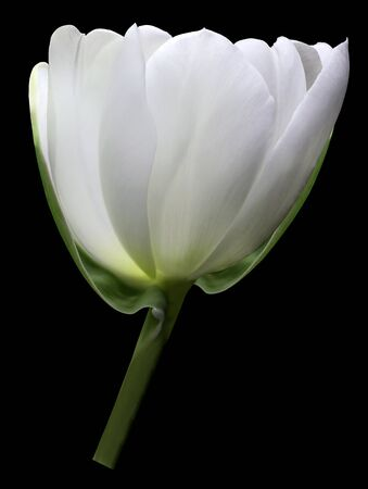 White flower tulip on black isolated background with clipping path. Close-up. Shot of White Colored. Nature.
