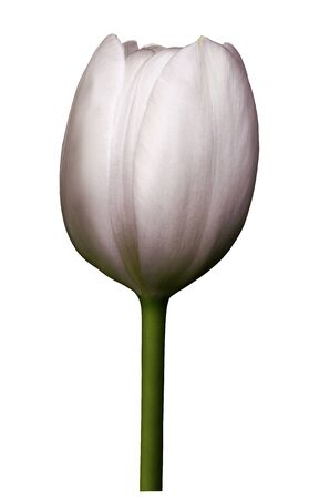 Light pink  flower tulip on white isolated background with clipping path. Close-up. Shot of White Colored. Nature.