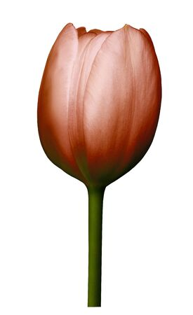 Red  flower tulip on white isolated background with clipping path. Close-up. Shot of  red Colored. Nature.