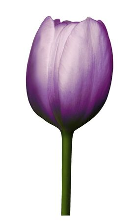 Purple  flower tulip on white isolated background with clipping path. Close-up. Shot of  violet Colored. Nature.