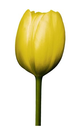 Yellow  flower tulip on white isolated background with clipping path. Close-up. Shot of  yellow Colored. Nature.