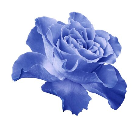 Rose light blue flower  on white isolated background with clipping path.  Side view. Closeup.  Nature. Stock Photo