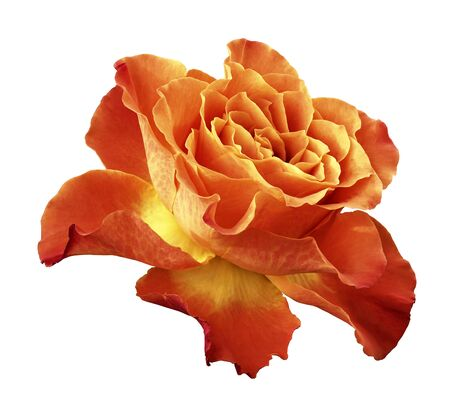 Rose red-yellow flower  on white isolated background with clipping path.  Side view. Closeup.  Nature.