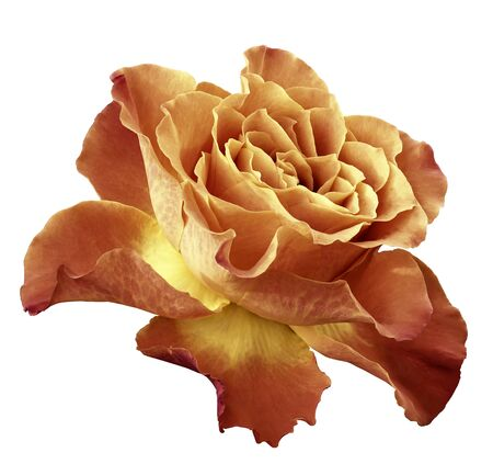 Rose  yellow-orange  flower  on white isolated background with clipping path.  Side view. Closeup.  Nature.