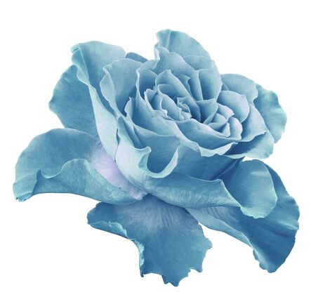 Rose   light turquoise   flower  on white isolated background with clipping path.  Side view. Closeup.  Nature. Stock Photo