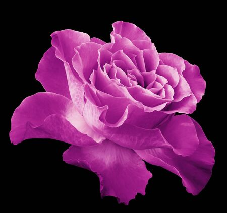 Rose pink flower  on black isolated background with clipping path.  Side view. Closeup.  Nature. Stock Photo