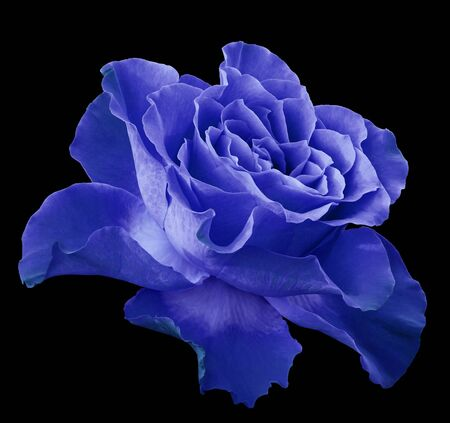 Rose blue flower  on black isolated background with clipping path.  Side view. Closeup.  Nature.