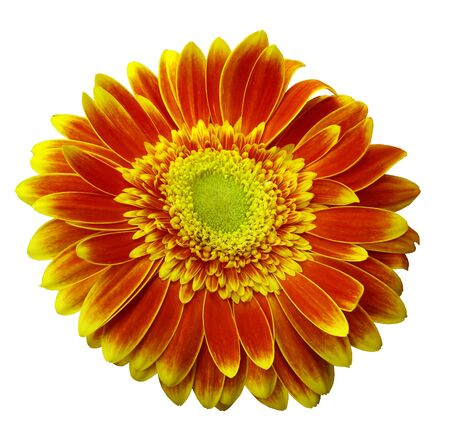 Red-yellow gerbera flower on a white isolated background with clipping path.   Closeup.  For design.  Nature.
