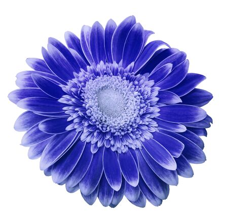 Blue-white gerbera flower on a white isolated background with clipping path.   Closeup.  For design.  Nature.