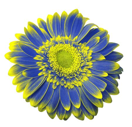 Blue-yellow gerbera flower on a white isolated background with clipping path.   Closeup.  For design.  Nature.