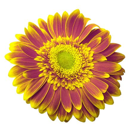 Pink-yellow gerbera flower on a white isolated background with clipping path.   Closeup.  For design.  Nature. Stock Photo