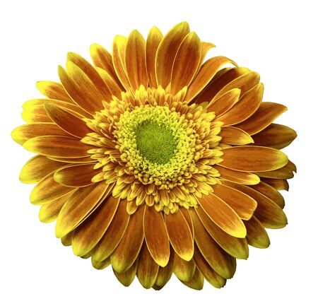Orange-yellow gerbera flower on a white isolated background with clipping path.   Closeup.  For design.  Nature.