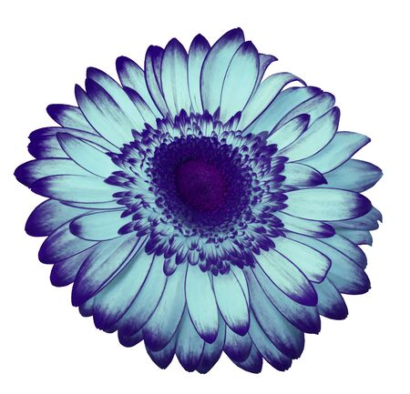 Light blue-violet  gerbera flower on a white isolated background with clipping path.   Closeup.  For design.  Nature.