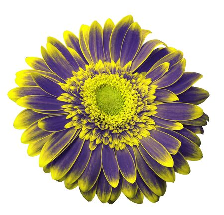 Violet-yellow  gerbera flower on a white isolated background with clipping path.   Closeup.  For design.  Nature. Stock Photo