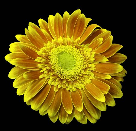 Yellow gerbera flower on the black isolated background with clipping path.   Closeup.  For design.  Nature. Stock Photo