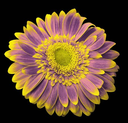 Pink-violet-yellow gerbera flower on the black isolated background with clipping path.   Closeup.  For design.  Nature. Stock Photo