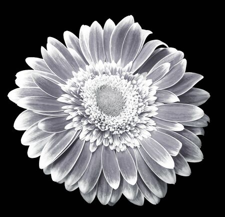 White-black gerbera flower on the black isolated background with clipping path.   Closeup.  For design.  Nature.