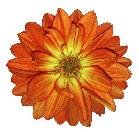 Dahlia red-yellow flower on white isolated background with clipping path.  For design. Closeup.  Nature.