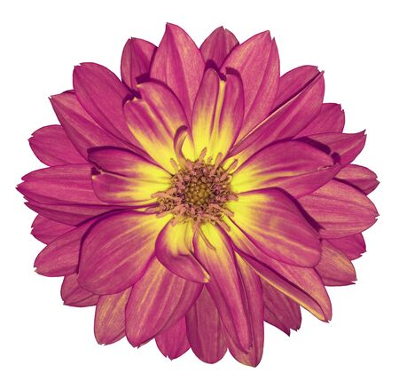 Dahlia pink-yellow flower on white isolated background with clipping path.  For design. Closeup.  Nature.