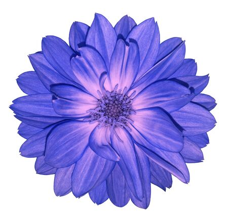 Dahlia blue-pink  flower on white isolated background with clipping path.  For design. Closeup.  Nature.