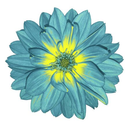 Dahlia  bright turquoise  flower on white isolated background with clipping path.  For design. Closeup.  Nature. .