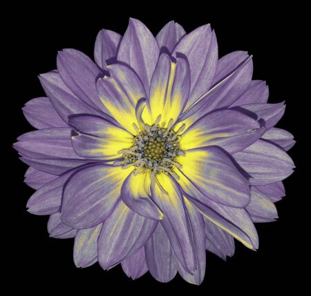 Dahlia  purple-yellow  flower on black  isolated background with clipping path.  For design. Closeup.  Nature. Stock Photo