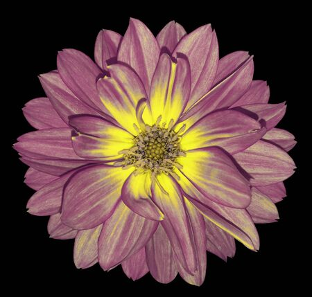 Dahlia  pink-yellow  flower on black  isolated background with clipping path.  For design. Closeup.  Nature.