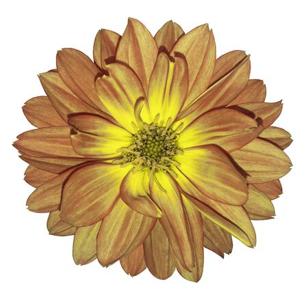 Dahlia    autumn red-yellow  flower on white  isolated background with clipping path.  For design. Closeup.  Nature.