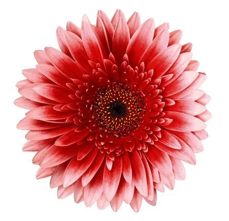 red gerbera flower on a white isolated background with clipping path.   Closeup.   For design.  Nature. Stock Photo
