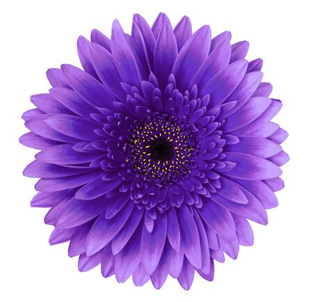 Blue gerbera flower on a white isolated background with clipping path.   Closeup.   For design.  Nature.