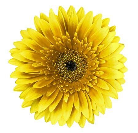 Yellow-brown gerbera flower on a white isolated background with clipping path.   Closeup.   For design.  Nature. Stock Photo