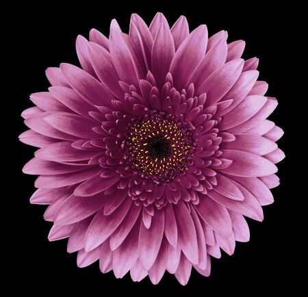 Pink gerbera flower on the black isolated background with clipping path.   Closeup.   For design.  Nature.