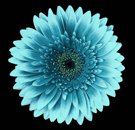 Turquoise gerbera flower on the black isolated background with clipping path.   Closeup.   For design.  Nature.