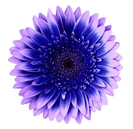 Blue-pink gerbera flower on a white isolated background with clipping path.   Closeup.   For design.  Nature. Stock Photo