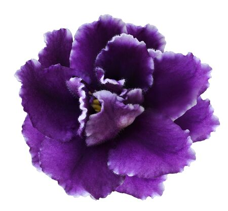 Flower violets  on a white isolated background with clipping path  no shadows.  Closeup  For design.  Nature.