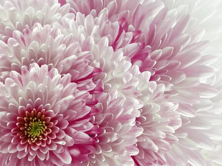 chrysanthemums flowers. light pink and white  background. floral collage. flower composition. Nature.