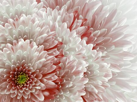 chrysanthemums flowers. red and white  background. floral collage. flower composition. Nature. Stock Photo