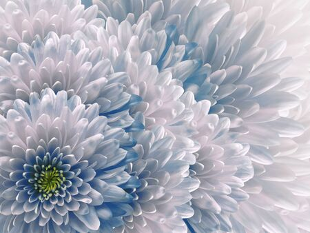 chrysanthemums flowers. blue and white  background. floral collage. flower composition. Nature. Stock Photo