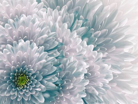 chrysanthemums flowers. turquoise and white background. floral collage. flower composition. Nature.