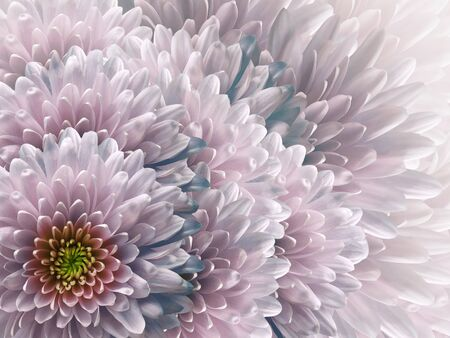 chrysanthemums flowers.blue and  pink background. floral collage. flower composition. Nature.