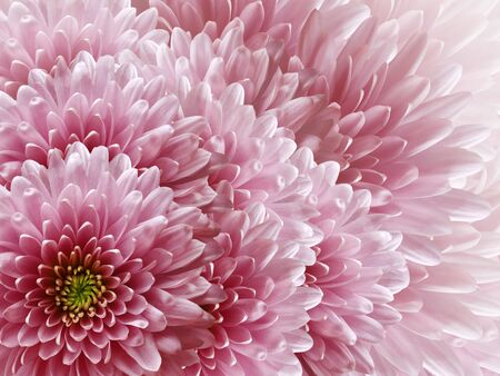 chrysanthemums flowers. light pink  background. floral collage. flower composition. Nature.