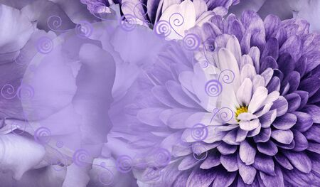 Floral purple background. Flower chrysanthemum and petals of a purple roses. Place for text. Close-up. Nature