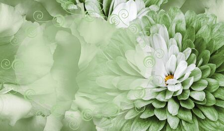 Floral green background. Flower chrysanthemum and petals of a green roses. Place for text. Close-up. Nature