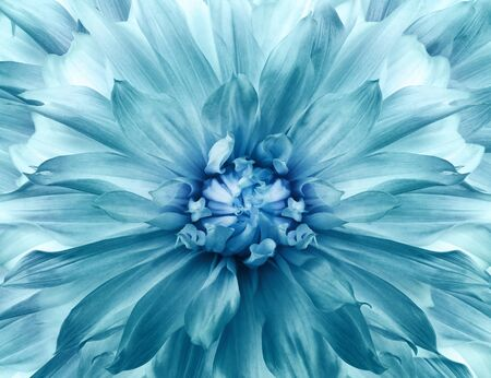 Floral turquoise background. Dahlia flower. Close-up. Nature.