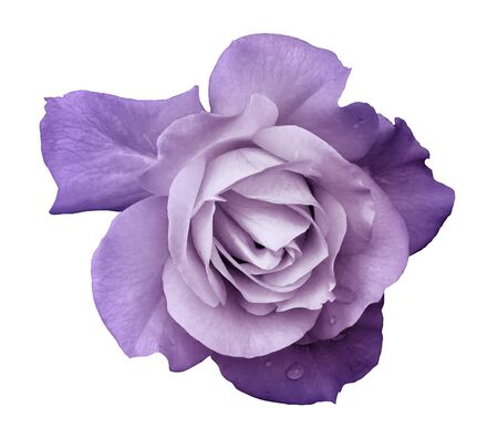 Flower purple rose on a white isolated background