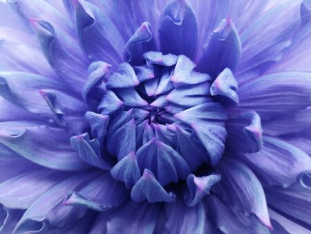 Floral blue-purple background. Dahlia flower. Close-up. Nature.